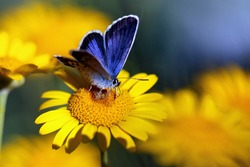 Yellow flower with Silver-studded Blue (Plebejus argus) butterfly - horizontal makro photo
