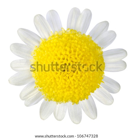 Yellow Flower with White Petals Isolated on White Background