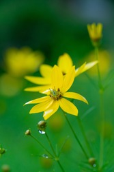 Yellow flower with yellow center.  Pot of gold tickseed with selective focus and bokeh.  tickseed. water droplets on flower pedals and leaves