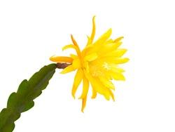 Yellow flowering cactus (Epiphyllum hybrid) isolated
