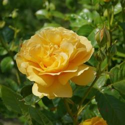 Yellow Flowering English Rose Named Absolutely Fabulous