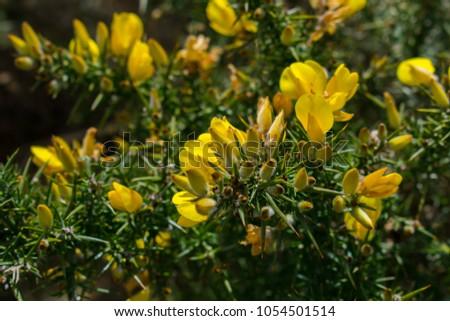 Free photos beautiful garden flowers from ireland avopix yellow flowering gorse ulex europaeus by the side of the road in belfast northern mightylinksfo