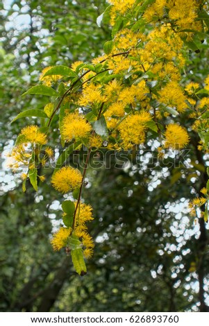 Royalty free blooming yellow tiny little flowers 389072296 stock yellow flowering tree or shrub in roath park 626893760 mightylinksfo Image collections