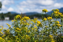 Yellow flowers against Mirror Lake in Lake Placid, NY