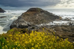Yellow flowers and Common Murre,  Flocks of Common Murre sea birds after spending the night fishing in the ocean off the Oregon coast near Depoe Bay.The common murre or common guillemot is a large auk