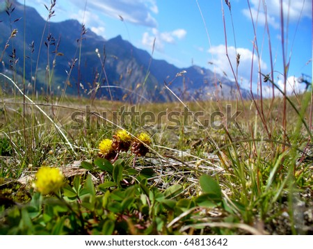 yellow flowers and grass in Alps