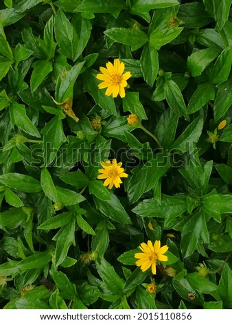 Yellow flowers and green leaves of Creeping daisy. ornamental plant, ground cover and herb. It nourishes skin, massages muscles, nourishes eyes, nourishes hair, reduces fever, helps digestion, anesthe Stock photo ©