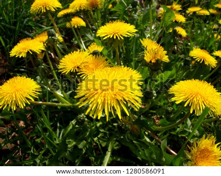 Yellow flowers and green leaves of dandelions on the meadow in Poland #1280586091
