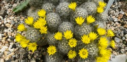 yellow flowers and little cactus in the garden