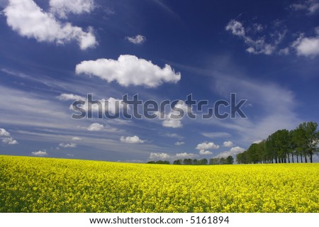 Yellow flowers and the blue sky - canola fields in Poland
