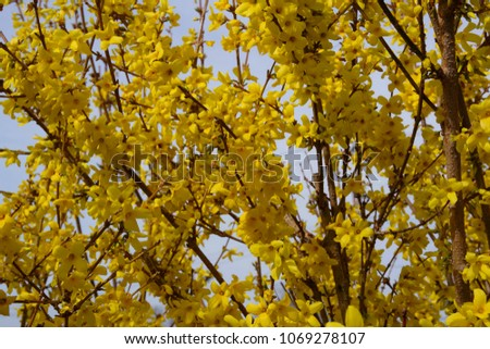 Free photos bush forsythia with yellow flowers in early spring yellow flowers background early spring blooming bush of forsythia closeup 1069278107 mightylinksfo