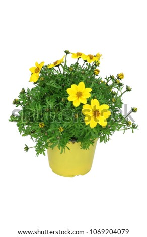 yellow flowers (Bidens ferulifolia) isolated on white background #1069204079