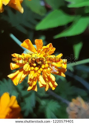 Yellow flowers bloom in the middle of the night. suitable for planting in rooms as fragrance fragrances on the other hand as fatigue relief #1220579401