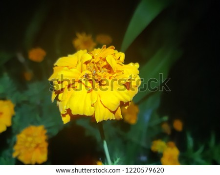 Yellow flowers bloom in the middle of the night. suitable for planting in rooms as fragrance fragrances on the other hand as fatigue relief #1220579620