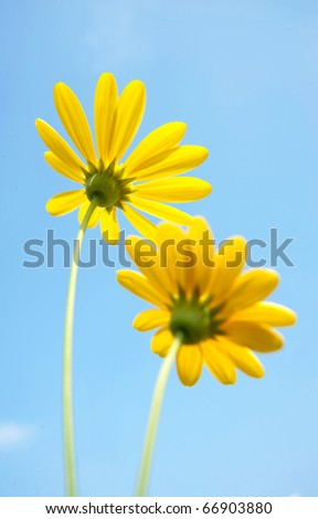 Yellow flowers blooming, blue sky as background.