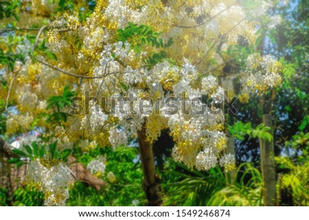 Yellow flowers booming in summer background, Indian laburnum or cassia fistula name in botany category #1549246874