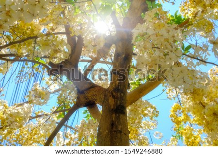 Yellow flowers booming in summer background, Indian laburnum or cassia fistula name in botany category #1549246880