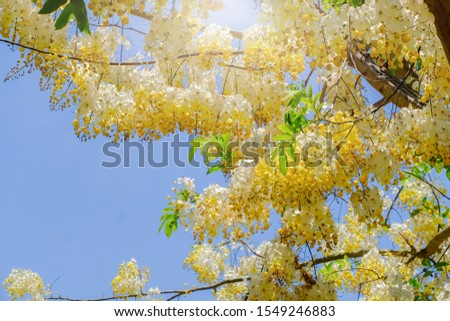 Yellow flowers booming in summer background, Indian laburnum or cassia fistula name in botany category #1549246883