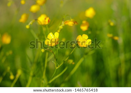 Yellow flowers branch on green grass background. Ranunculus acris, meadow buttercup, tall buttercup, common buttercup, giant buttercup. #1465765418