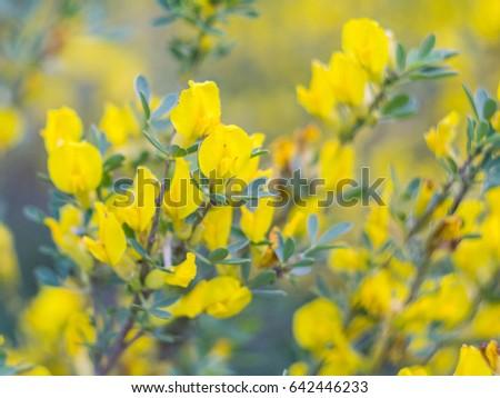 Yellow flowers bush in may ez canvas yellow flowers bush in may mightylinksfo