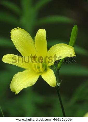 yellow flowers, citron day-lily or long yellow day-lily, Hemerocallis citrina in Karuizawa botanical garden, nagano prefecture, Japan.