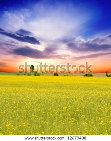 Yellow flowers field and a beautiful sunset