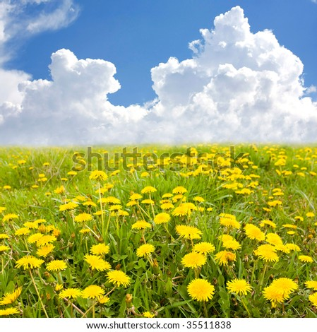 Yellow flowers field at nice summer day