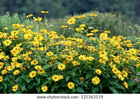Yellow flowers field background, flowers field close up, yellow background
