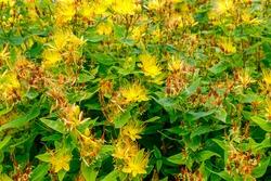 Yellow flowers Hypericum hookerianum or Hooker's St. John's Wort  in summer garden