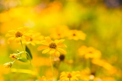 Yellow flowers in a meadow natural summer background, blurred image, selective focus