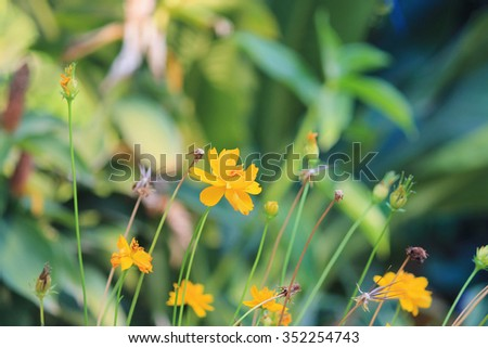 yellow flowers in the garden Cosmos bipinnatus or Mexican aster #352254743