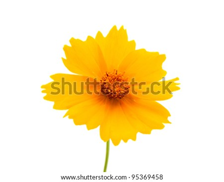 yellow flowers isolated on white background