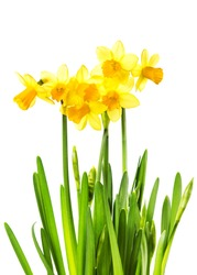 Yellow Flowers isolated on white background. Daffodil flower or narcissus bouquet isolated on white background macro.