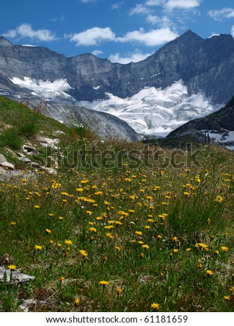 yellow flowers near the glacier in the Alps