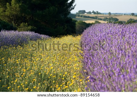 Yellow flowers next to purple lavender in the lavender fields of the French Provence near Valensole