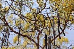 yellow flowers of Cassia fistula tree