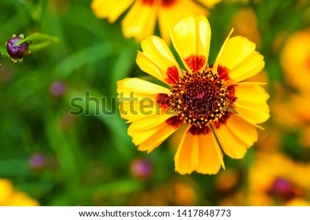 Yellow flowers of coreopsis. Coreopsis lanceolata in the garden, Yellow  coreopsis royalty free stock images.