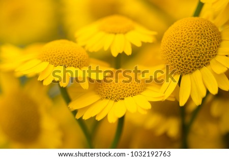 Yellow flowers of dyer's camomile (Anthemis tinctoria) #1032192763