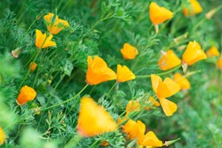 Yellow flowers of eschscholzia californica or golden californian poppy, cup of gold, flowering plant in family papaveraceae. Selective focus.
