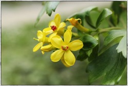 Yellow flowers of golden currant (Ribes aureum)