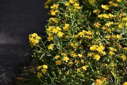 Yellow flowers of Hypericum densiflorum 'Buttercup', also known as bushy St. John's wort or dense St. John's wort, in the garden.