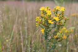 Yellow flowers of Hypericum perforatum (perforate St John's-wort) in a field in the morning, close up, copy space for text