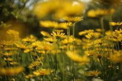 Yellow flowers of Leopard's Bane ,Doronicum orientale, in garden.
