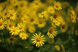 Yellow flowers of Leopard's Bane ,Doronicum orientale, in garden. General view of a group of flowering plants