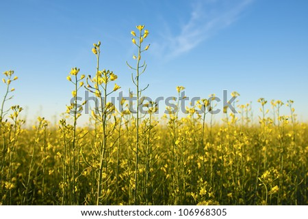 yellow flowers of oil rapeseed in field with clear blue sky