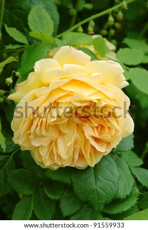Yellow flowers of Rosa Golden Celebrations