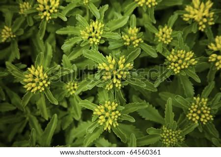Yellow flowers of stonecrop in a botanic garden