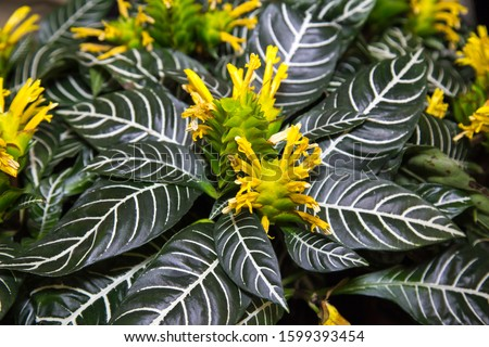 Yellow flowers of the plant Aphelandra Squarrosa Dania on a background of green leaves with a beautiful pattern. Selective focus. Fauna, plants, ecology. Zdjęcia stock ©
