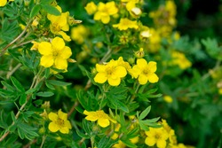 Yellow flowers of the potentilla bush among the summer foliage (Dasiphora fruticosa)