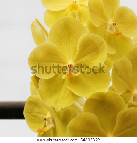 Yellow Flowers Orchid
